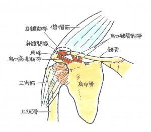 肩鎖関節①